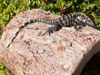 Picture of Blue Tegu